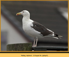 gt-b-backed-gull-05.jpg