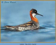 red-necked-phalarope-16.jpg