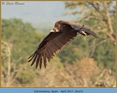 black-vulture-27.jpg