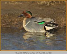 green-winged-teal-06.jpg