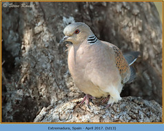 turtle-dove-13.jpg