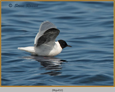 little-gull-32.jpg