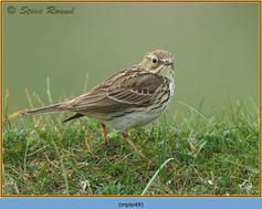 meadow-pipit-48.jpg