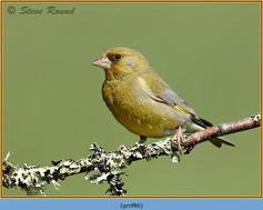 greenfinch-86.jpg