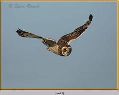 short-eared-owl-43.jpg