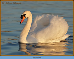 mute-swan-38.jpg