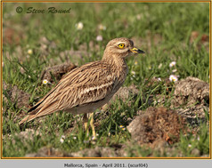 stone-curlew-04.jpg