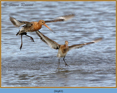 black-tailed-godwit- 83.jpg