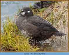 harlequin-duck-23.jpg