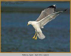 yellow-legged-gull-12.jpg