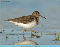 common-sandpiper-34.jpg