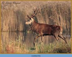 red-deer-56.jpg