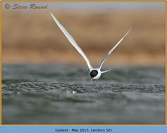 arctic-tern-52.jpg