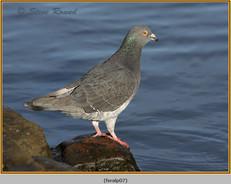 feral-pigeon-07.jpg