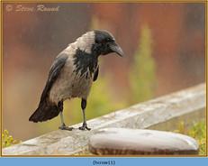 hooded-crow-11.jpg