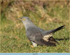 cuckoo-117.jpg