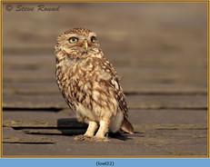 little-owl-22.jpg