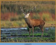 red-deer-87.jpg
