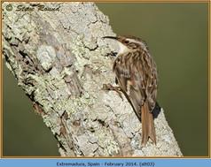 short-toed-treecreeper-03.jpg