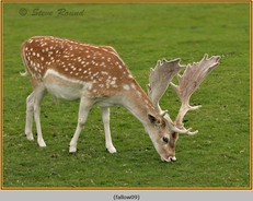 fallow-deer-09.jpg