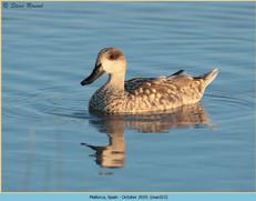 marbled-duck-13.jpg
