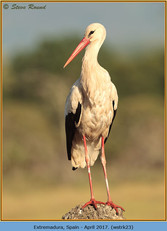 white-stork-23.jpg
