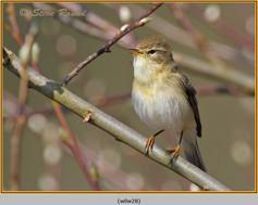 willow-warbler-28.jpg