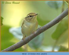 yellow-browed-warbler-03.jpg