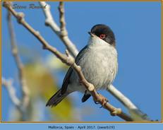 sardinian-warbler-19.jpg