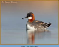 red-necked-phalarope-36.jpg