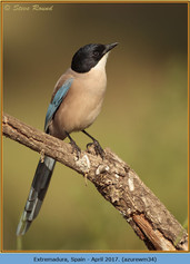 azure-winged-magpie-34.jpg