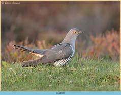 cuckoo-160.jpg