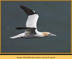 gannet-16.jpg