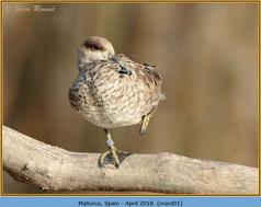 marbled-duck-01.jpg
