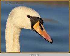 mute-swan-26.jpg