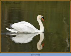 mute-swan-30.jpg
