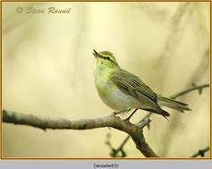 wood-warbler-43.jpg