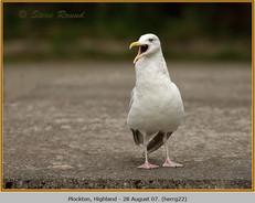 herring-gull-22.jpg