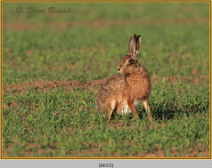 brown-hare-53.jpg