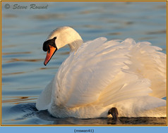 mute-swan-41.jpg