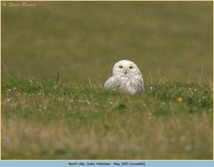 snowy-owl-06.jpg