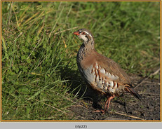 red-legged-partridge-22.jpg