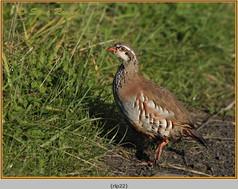 red-legged-partridge-22.jpg