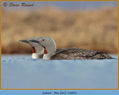 red-throated-diver- 93.jpg