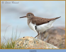 common-sandpiper-16.jpg