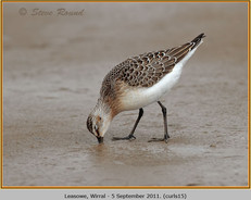 curlew-sandpiper-15.jpg