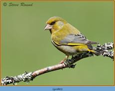 greenfinch-83.jpg