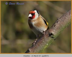 goldfinch-37.jpg
