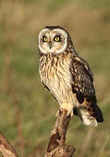 short-eared-owl-2.jpg