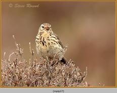 meadow-pipit-27.jpg